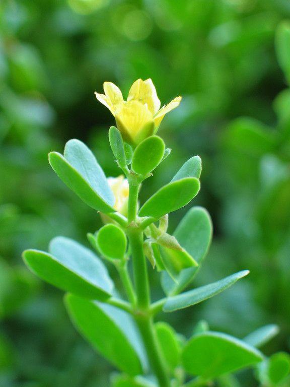 Zygophyllum glauca / Pale Twin Leaf