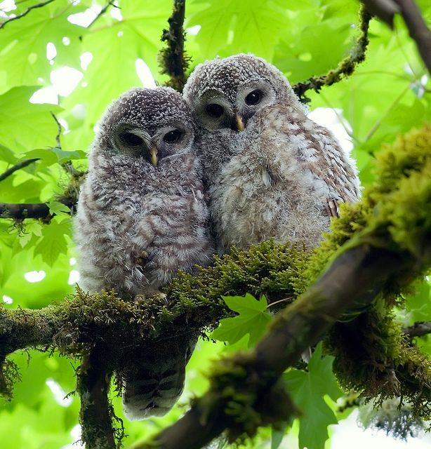 Barred Owl Chicks - these are like the ones I saw up in one of my trees. One was feeling grumpy and trying to push the other off the branch.