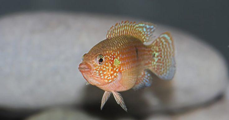 ¿Por qué los peces de agua salada mueren cuando se ponen en agua dulce? . Los peces de agua salada mueren debido al hecho de que sus cuerpos no pueden adaptarse a la alta concentración de productos químicos en un ambiente de agua dulce. Cuando ésta entra en las branquias del sistema nervioso de los peces de agua salada, el sistema se apagará cuando las células se llenan con agua. Este hecho puede conducir a una muerte ...