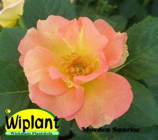 Sunrise har en höjd på ca 60-80 cm. Blommorna är orange när de öppnar sig och blir senare klargula och mot slutet av blomningen gräddgula. Vinterhärdighet på USDA Zon 3 (-35C) och den har klarat sig bra hos oss några säsonger redan. Årlig vårbeskärning är bra.