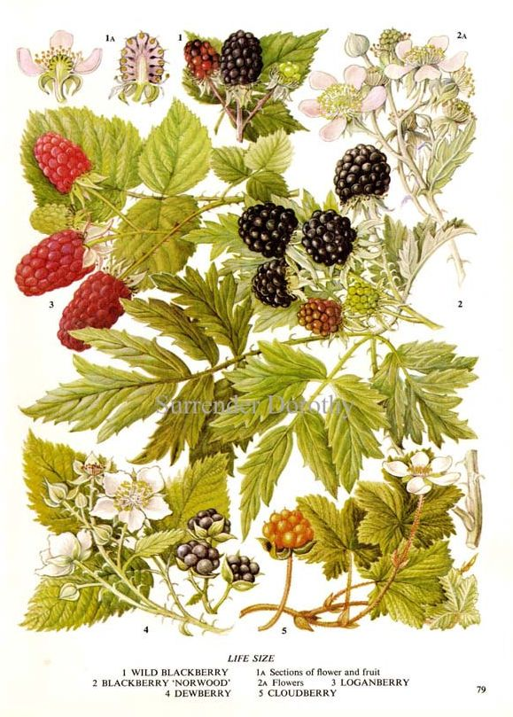 blackberry botanical print