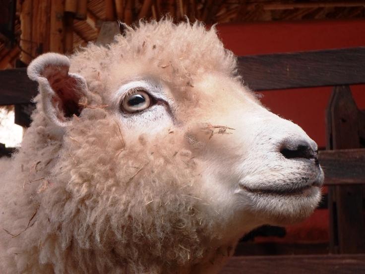Sabias qué las ovejas prefieren no beber el agua que corre...