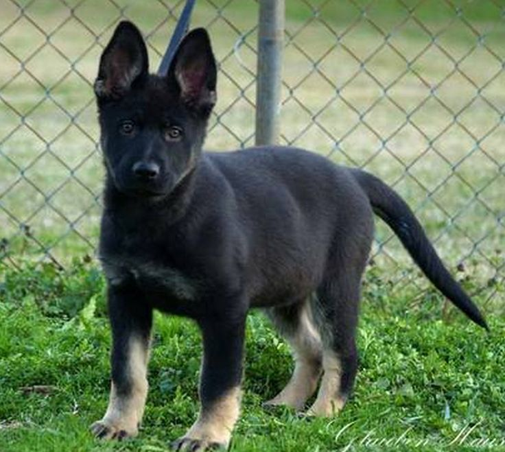 Anyone know where we can find a black bi-color german shepherd puppy that looks like this?