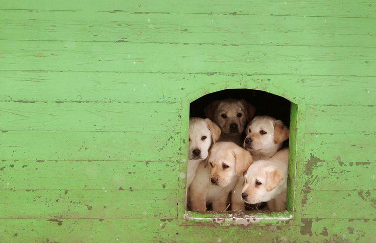 Filhotes de labrador observam da porta de um canil da guarda de fronteira na cidade de Smorgon, em Belarus. Profissionais preparam cães para serem usados na guarda; os que não se mostram aptos para o serviço são vendidos para civis.