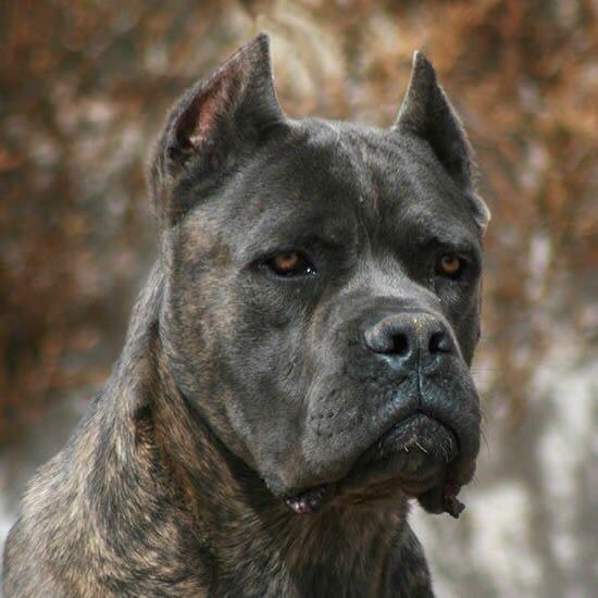 Cane Corso, Italian Mastiff
