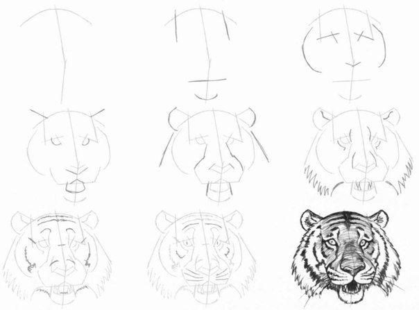 поэтапный рисунок головы тигра