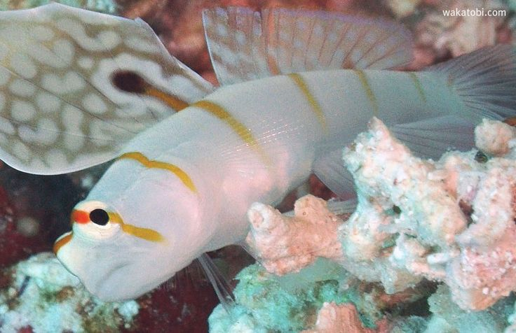 The Orange Stripe Prawn Goby, also known as Randall's Shrimp Goby, was first discovered in the Western Pacific in 1978 by Hoese and Steene. The body is white with orange stripes, with one orange stripe over the eyes and around its entire head. The male may be identified by the fan-like dorsal fin that bares a dramatic eyespot. (Photograph: Paul Brazier)