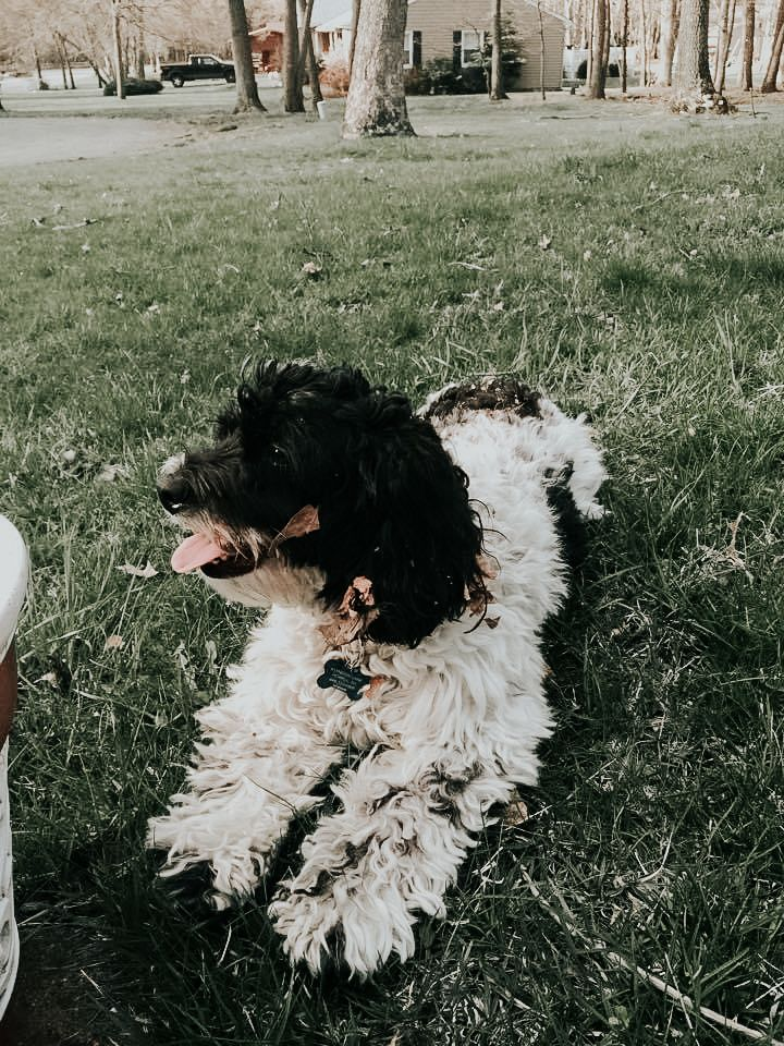 Black And White Cockapoo Puppy In 2020 Aesthetic Backgrounds