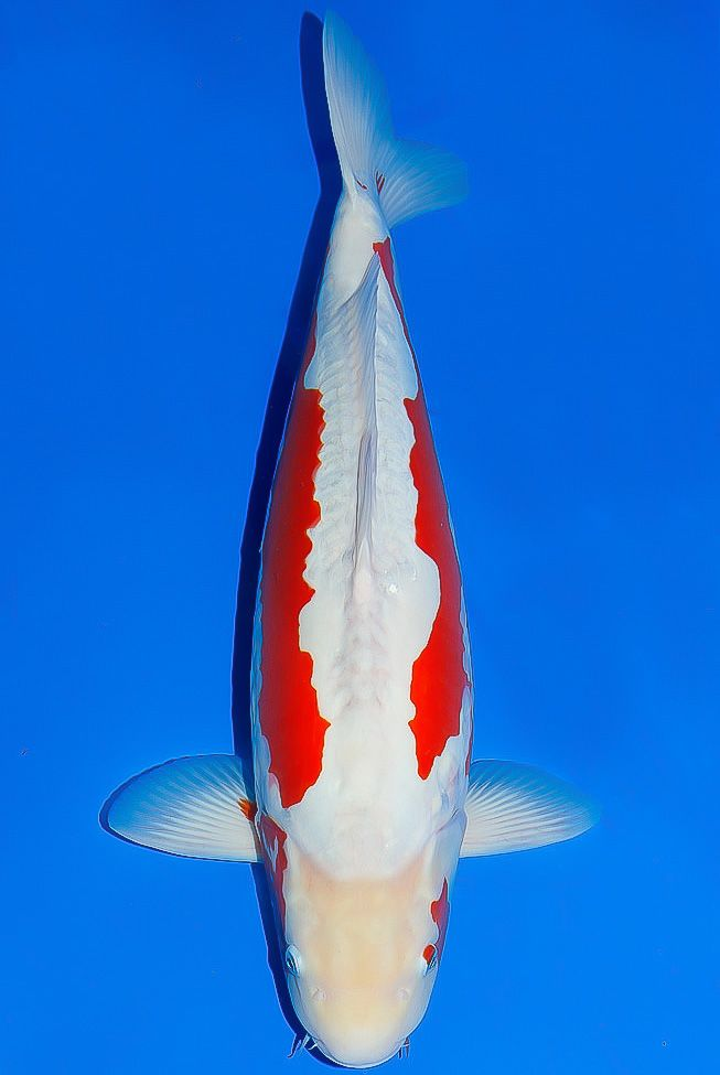 130 best images about koi name on pinterest the head for Koi carp names