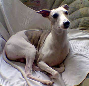 Whippets, my childhood pup I can't wait to own one again someday!