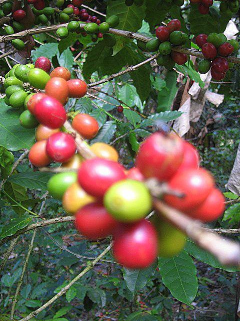 Guatemala coffee tree
