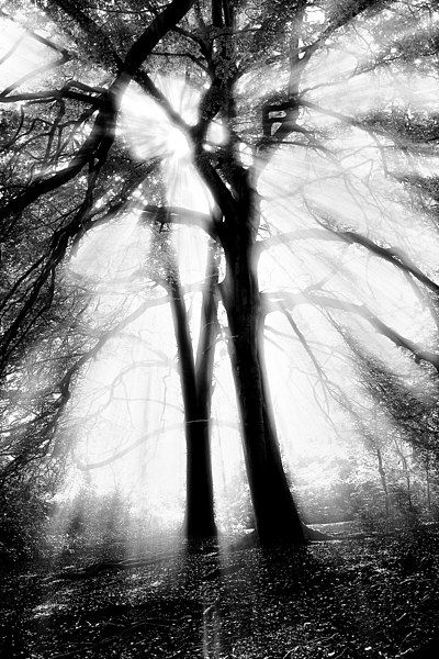 Black and white photograph of strong sunlight streaming through a pair of beech trees. Available on canvas and other options from Photo4Me #Photography