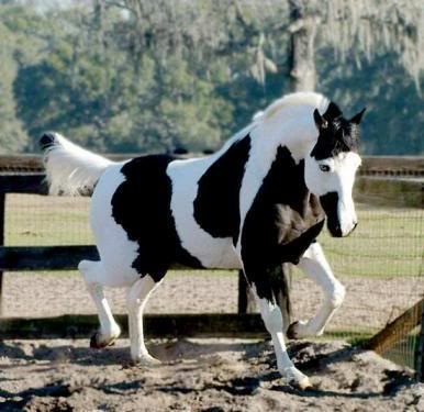"""now this is what you would call a """"flashy"""" horse in the show ring. beautiful markings!"""