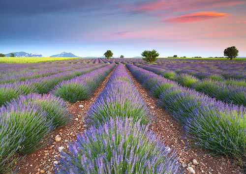 """Dreamy Lavender"" by Tonio Di Stefano :)"