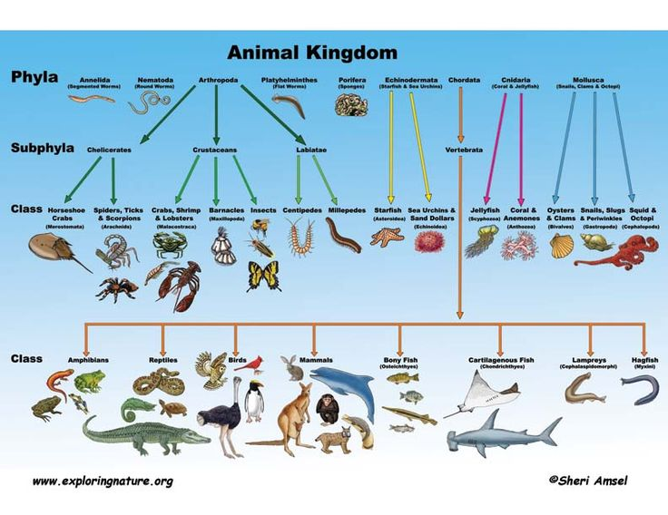 animal kingdom diagram - photo #6
