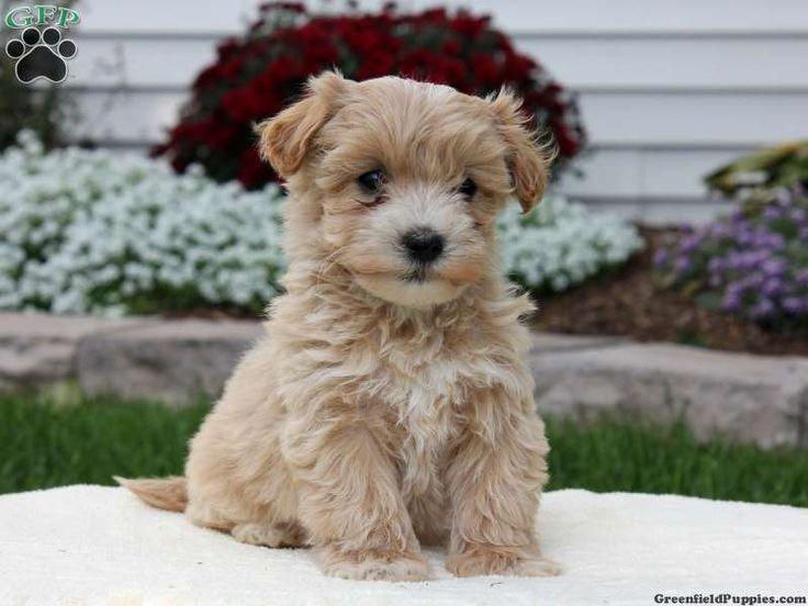Havapoo & Toy Poodle Puppies For Sale Grand Rapids, MI ...