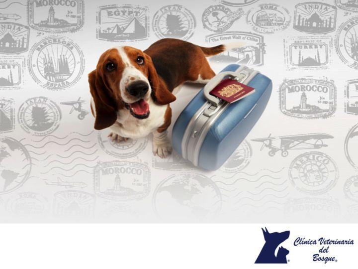 CLÍNICA VETERINARIA DEL BOSQUE. Si planeas salir de viaje con tu mascota, es de vital importancia que hagas un kit del perro viajero: Revisa si tiene un arnés firme, cómodo. Cómprale juguetes para que se entretenga. Revisa que la caja de viaje sea del tamaño correcto, lleva un pequeño botiquín con medicamentos básico. En Clínica Veterinaria del Bosque, te podemos ayudar a preparar su viaje. Te sugerimos comunicarte con nosotros a los teléfonos 5360-3311 y 5240-0404 para que nuestros…