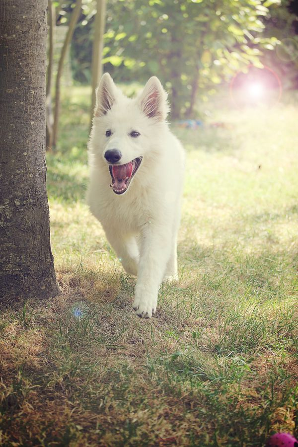 Havalanche, White Shepherd by Victoria Welcome, via 500px