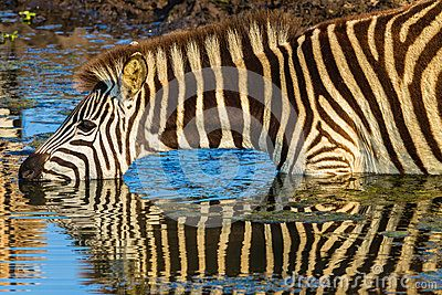 Zebra drinking with mirror reflections on waters in morning light wildlife park reserve.