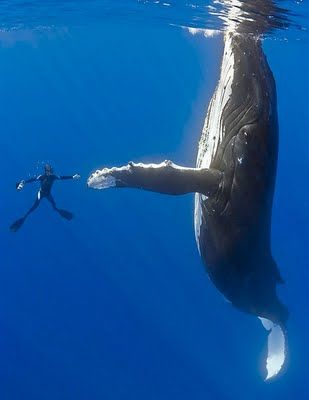#BUCKETLIST - to swim with a humpback whale!