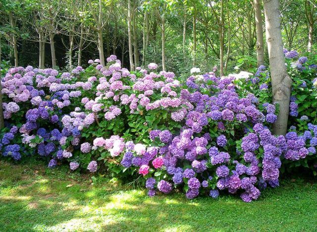 Les 25 meilleures id es de la cat gorie taille des hortensias sur pinterest quand planter des - Quand planter des hortensias ...