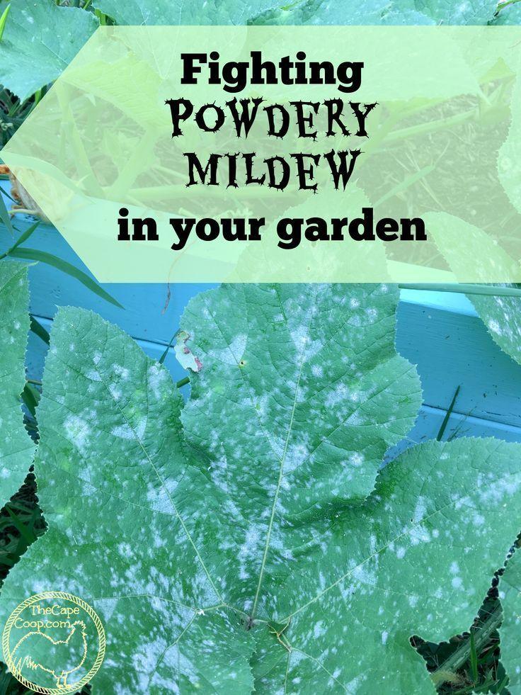 Fighting Powdery Mildew In Your Garden Powdery Mildew Zucchini Plants Garden Pests