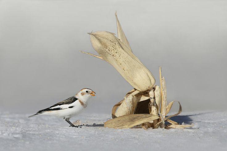 https://flic.kr/p/S6cuaL | plectrophane des neiges / snow bunting | Cap Tourmente. Petit set-up de blé d'inde. Saison hivernale exceptionnellement pourrie pour les oiseaux aux mangeoires. La dispersion de graines de millet au sol a été efficace ce jour là.