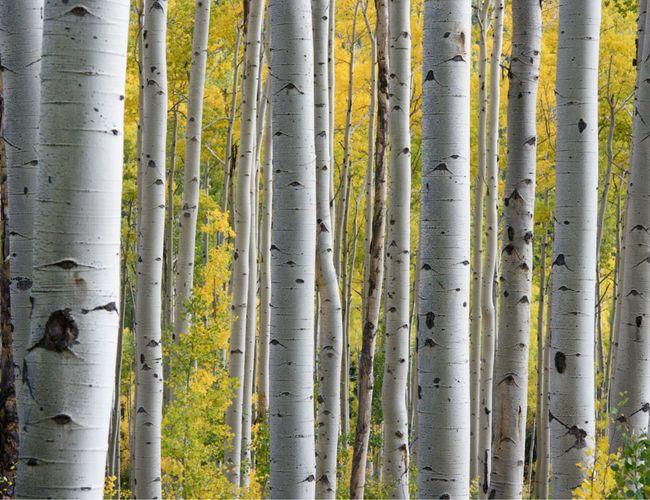 Brzoza, czyli Betula Alba lub Betula Pendula, to drzewo popularne w północnej części Europy oraz Azji. Po chłodnych zimowych miesiącach wczesną wiosną budzi się do życia. To właśnie wtedy puszcza życiodajne soki, które zbiera się z pni i gałęzi, aby wykorzystać je zarówno w kosmetyce jak i medycynie naturalnej.