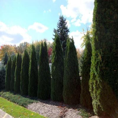 Smaragd Emerald Green Arborvitae Tree