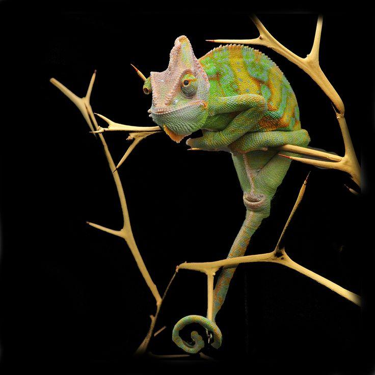 Yemen chameleon edited by Tom71067                                                                                                                                                                                 Mehr