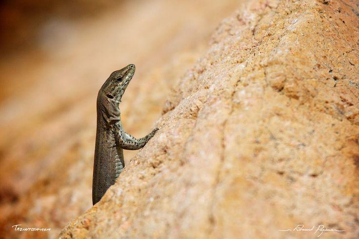 Lézard des murailles - Podarcis muralis | Common wall lizard: http://tazintosh.com #FocusedOn #Photo #Lézard #Lizard #Canon EF 100-400mm f/4.5-5.6L IS USM #Canon EOS 7D #Lézard des murailles #Podarcis muralis #Common wall lizard
