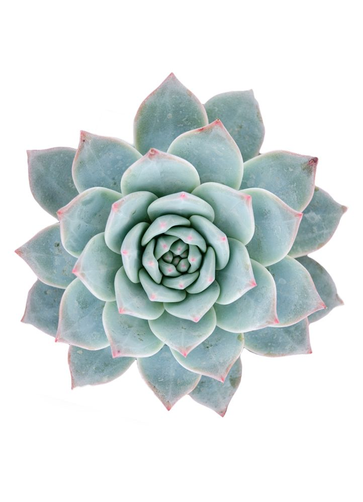 Echeveria 'Blue Bird' forms rosettes of pointed intense powdery blue rosettes with rose tips. Somewhat slow growing. Excellent for windowsill or rock garden. In habitat, many Echeverias grow on rocky …