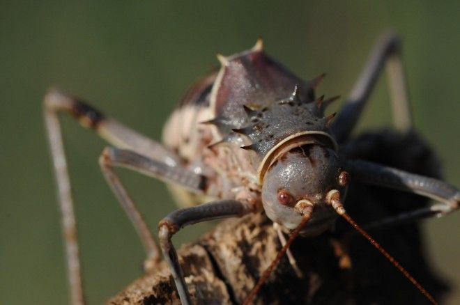 Armored ground cricket. This cannibalistic cricket will eat baby birds and can shoot poison. Image: Discovery Channel / BBC / Nick Easton