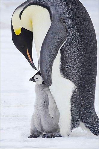 Imagem: Mãe pinguim imperador cuida do filhote (© Bill coster/Ardea/Caters)