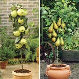 Patio Apple Trees (Gold Del/Gala) 9cm Pot | Shopping