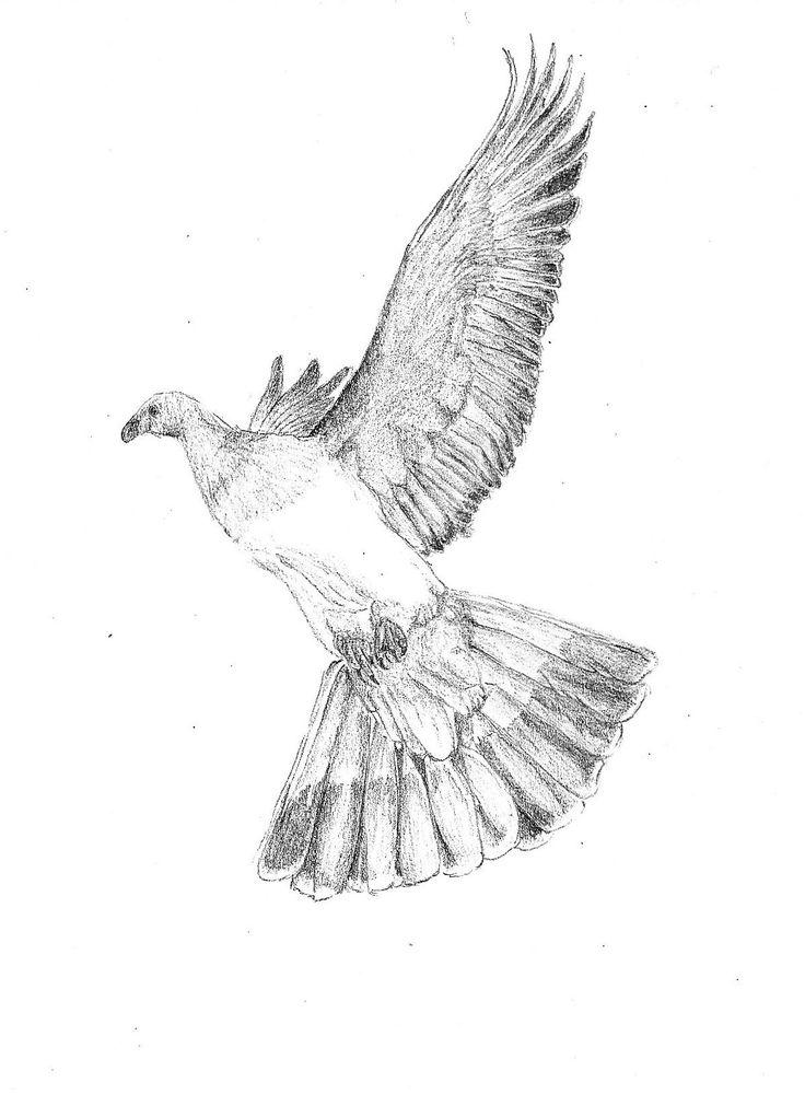 Kereru (NZ woodpigeon), Hemiphaga novaeseelandiae