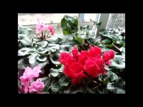 ЦИКЛАМЕНЫ(Сусlamen).Подготовка к шапочному цветению