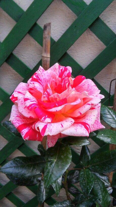La rosa acquerello