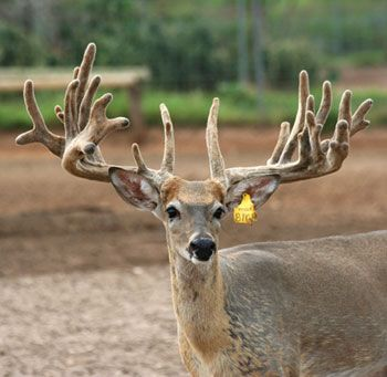 Growing by Leaps & Bounds: For owners of Tipps 5T Ranch, deer breeding grows from hobby into thriving biz. #FarmCredit Landscapes mag