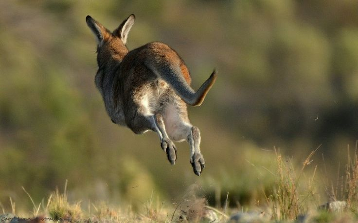 A female wallaby stirs up a little dust as she departs.