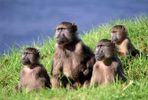 Cacma Baboons... Cape Town, South Africa (They kinda' look like the Standing Stones on Easter Island :)