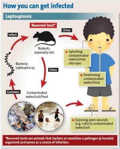 leptospirosis en humanos pdf free