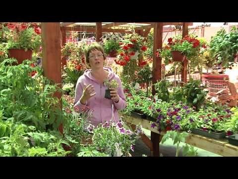 Ajánljuk: Egynyári virágok, http://kertinfo.hu/egynyari-viragok/, ezekben a témakörökben:  #Borhykertészet #Egynyárivirágok #gondozás #Kert #kertbarátmagazin #kertépítés #kertész #kertészet #kertészetbudapest #kertészetzugló #kertészetitv-műsor #ültetés #Virág, írta: Borhy Kertészet