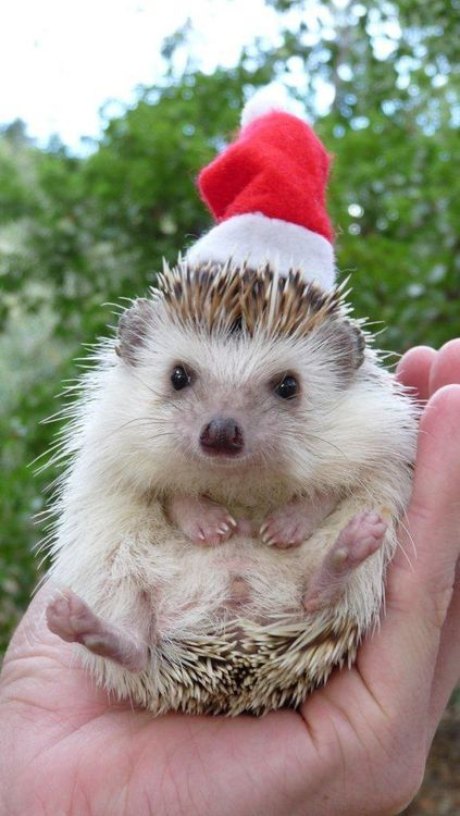 Hedgehog in Santa Hat --- too cute!