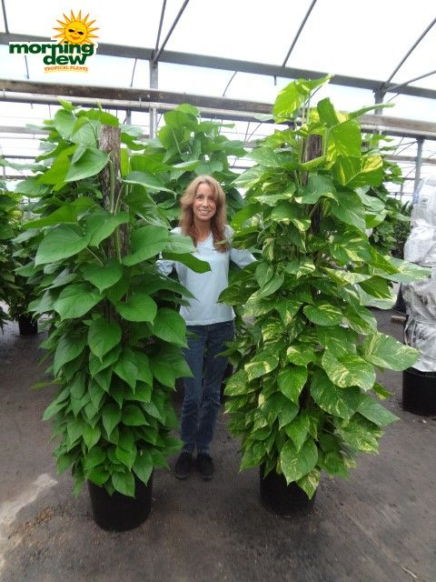 Stake Trellis On Philodendron Want It Plants Pothos