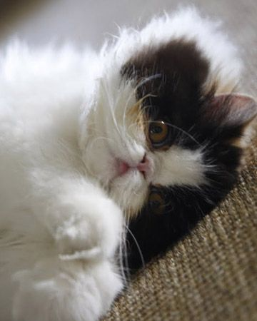 Empress Tang (calico Persian)- this would def make me reconsider getting a kitty- aww