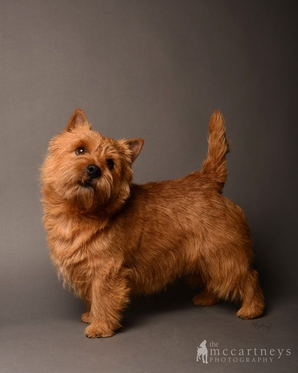 Norwich Terrier Photo Gallery