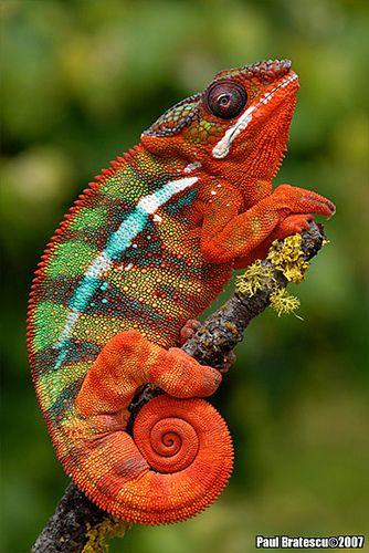 Gorgeous chameleon! Explore AnimalExplorer's photos on Flickr. AnimalExplorer has uploaded 447 photos to Flickr.