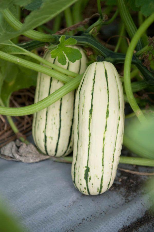 Delicata Winter Squash Melons Squashes Pinterest 400 x 300