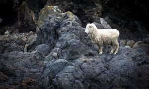 A sheep befriends a seal pup on the rocks near Canterbury, New Zealand